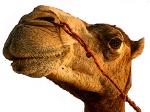 camelwitheyeposterizedcolor